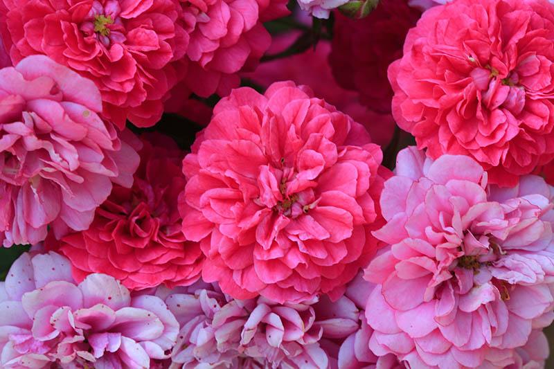 Rosas web