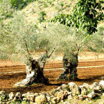 Olive trees from Mallorca