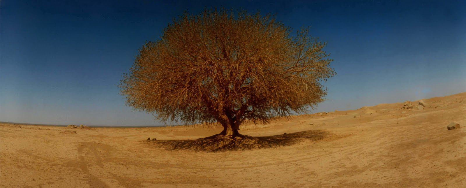 Prophet's tree copy