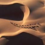 Camel Caravan Crossing Desert Dunes